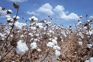 綿花由来樹脂